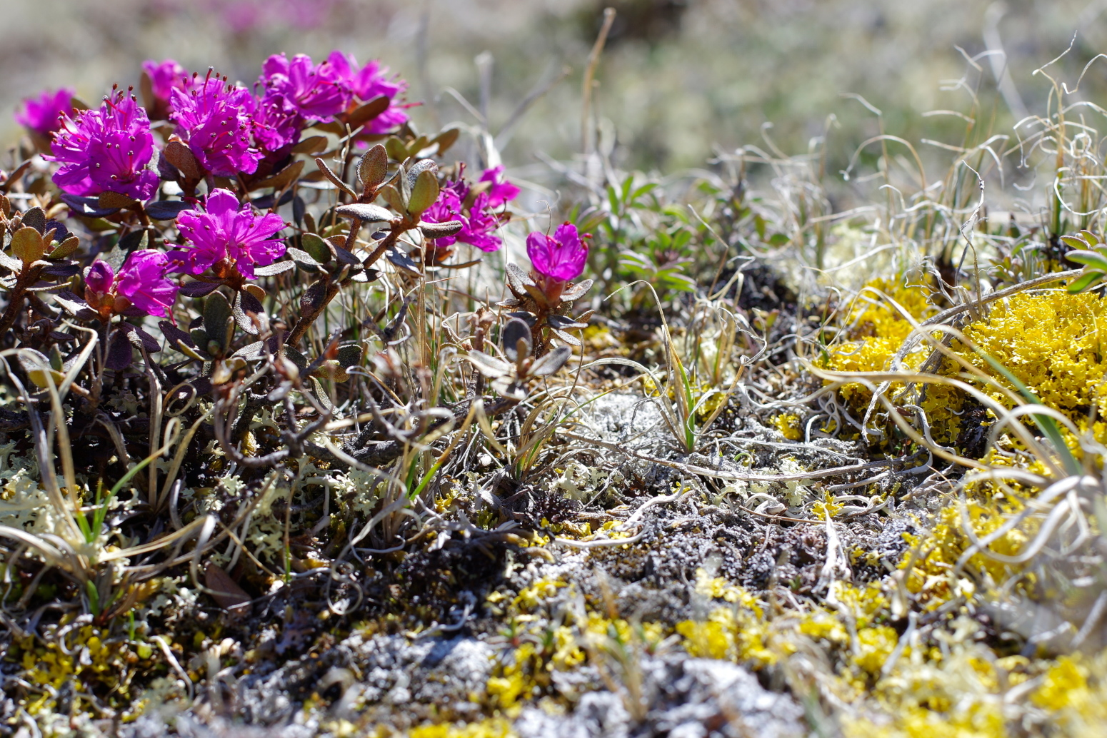 A vivid purple alpine rhododendron against a background of yellow alpine lichen.