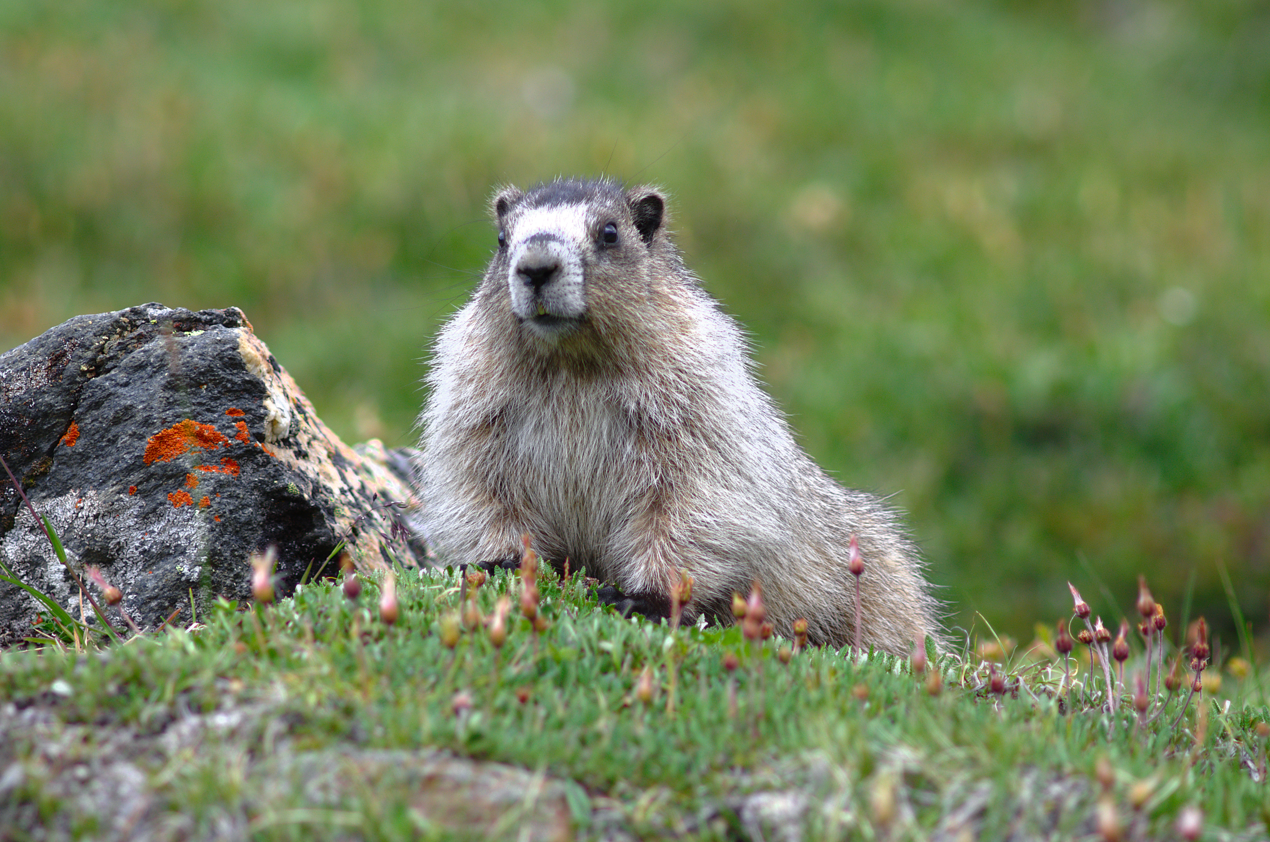 A marmot reclines on a green carpet of mountain avens leaves.