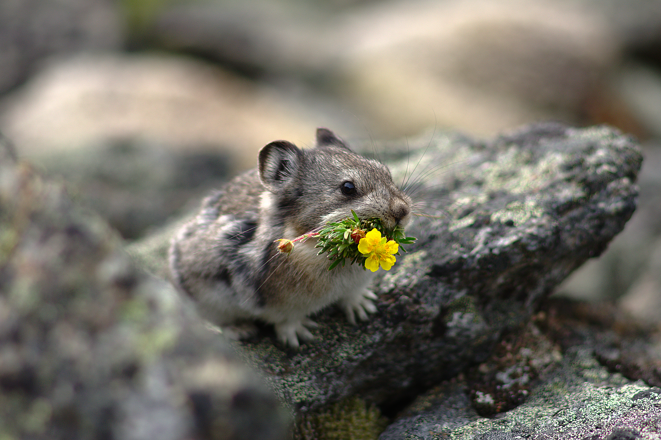 A pika sits on a rock with a bright yellow flower in its mouth.